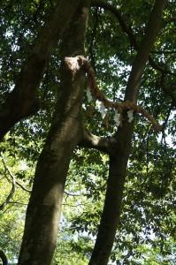 隣り合う幹から伸びる枝がくっつき合った珍しい木